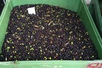 molitura-olive-produzione-olio-extravergine-lagodigarda-03