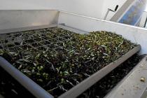 molitura-olive-produzione-olio-extravergine-lagodigarda-05