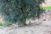 raccolta-olive-lagodigarda-01
