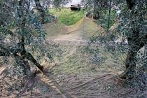 raccolta-olive-lagodigarda-02