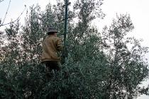 raccolta-olive-lagodigarda-03