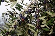 raccolta-olive-lagodigarda-05
