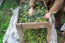 raccolta-olive-lagodigarda-06
