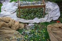 raccolta-olive-lagodigarda-07