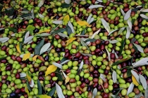 raccolta-olive-lagodigarda-08
