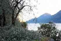 raccolta-olive-lagodigarda-09